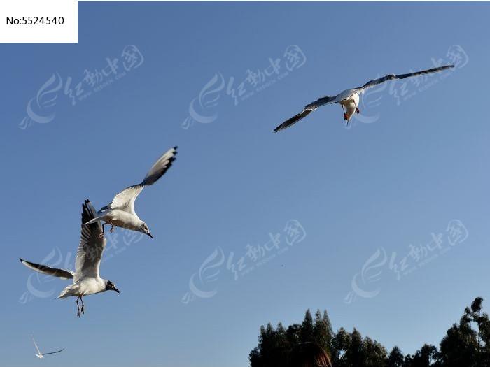您当前访问图片主题是三只红嘴鸥,编号是5524540, 文件格式是jpg,拍摄图片