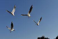 四只红嘴鸥