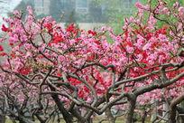 春花绽放的树
