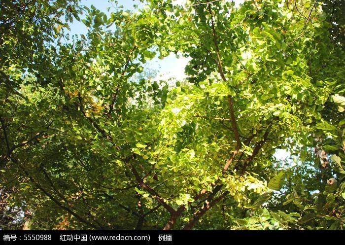 原创摄影图 动物植物 树木枝叶 由绿变黄的银杏树叶  请您分享: 红动