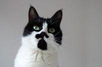 可爱的黑白花猫