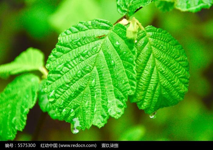 原创摄影图 动物植物 树木枝叶 杨树叶子  请您分享: 红动网提供树木