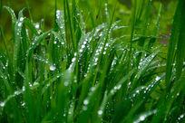 沾满露水的青草