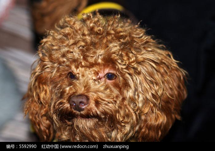 可爱的泰迪狗图片,高清大图