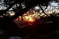 夕阳下的松树
