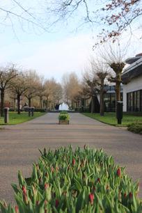 阿姆斯特丹郁金香花展路中央花苞