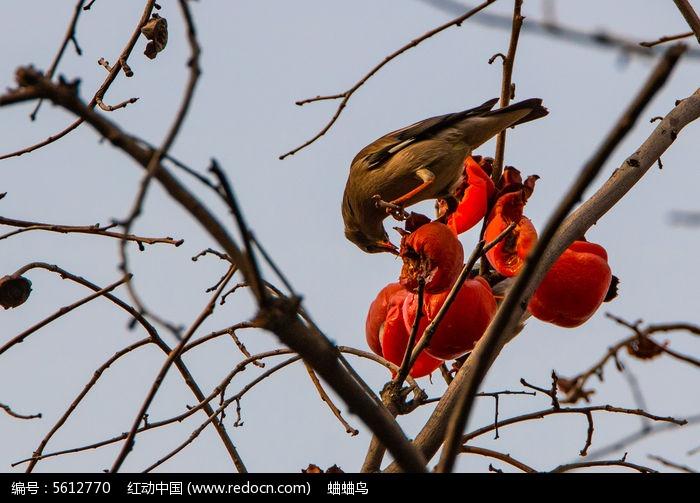动物世界 黄鸟