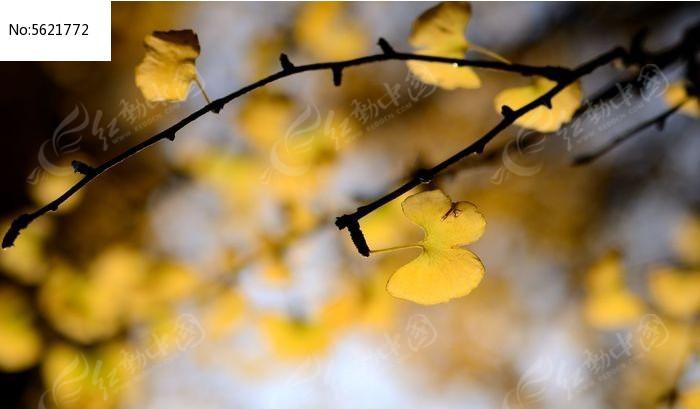 金黄的银杏枝叶图片
