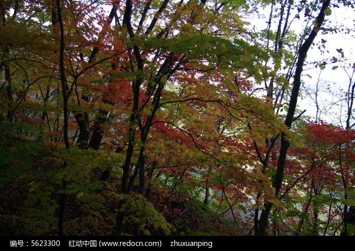 秋天红叶图片,高清大图