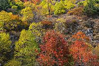 五彩树林秋色