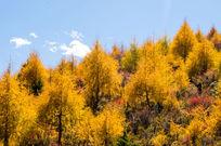 黄色丹巴山上的松林