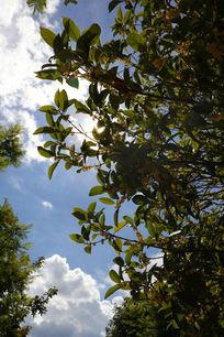 白云下的桂花树