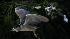 丛林中飞行的夜鹭