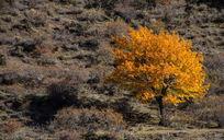 黄色的银杏树