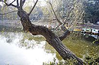 湖边横长的垂杨柳