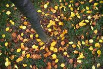 金黄色的落叶