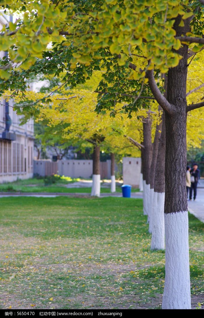 枯黄的银杏树叶图片