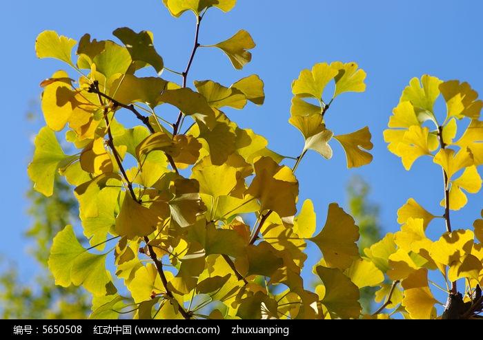 银杏树树叶图片
