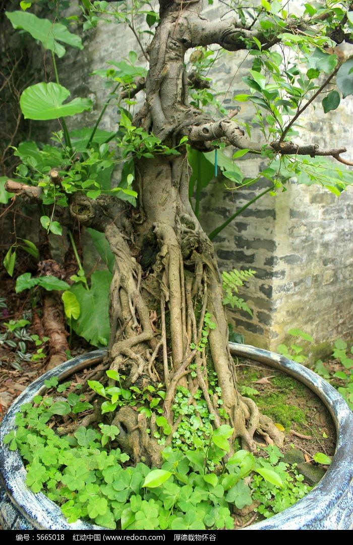 盘踞老树根