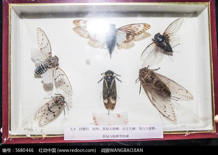 原创摄影图 动物植物 昆虫世界 蝉类标本  请您分享: 红动网提供昆虫