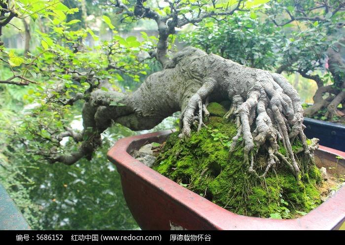 原创摄影图 动物植物 树木枝叶 湖边盘栽大树干