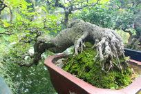 湖边盘栽大树干