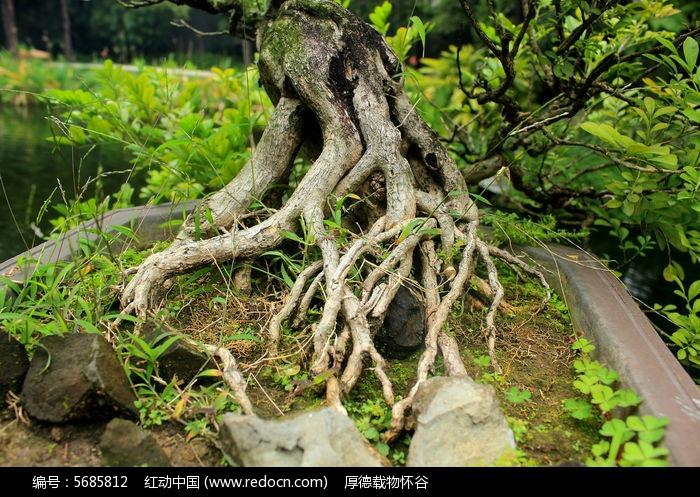凌乱老树根