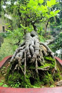 绿苔藓上的老树根