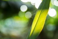 绿叶与蜘蛛丝
