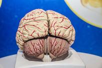 人体大脑模型