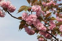 粉红色的樱花摄影图片