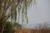 湖边的柳树摄影图片