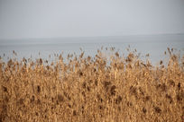 湖边的芦苇摄影图片
