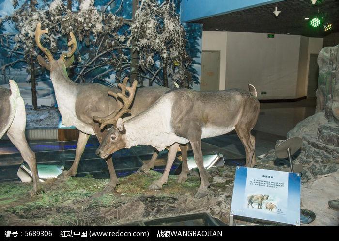 原创摄影图 动物植物 陆地动物 麋鹿模型  请您分享: 红动网提供陆地