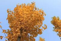 秋天的银杏树摄影图片