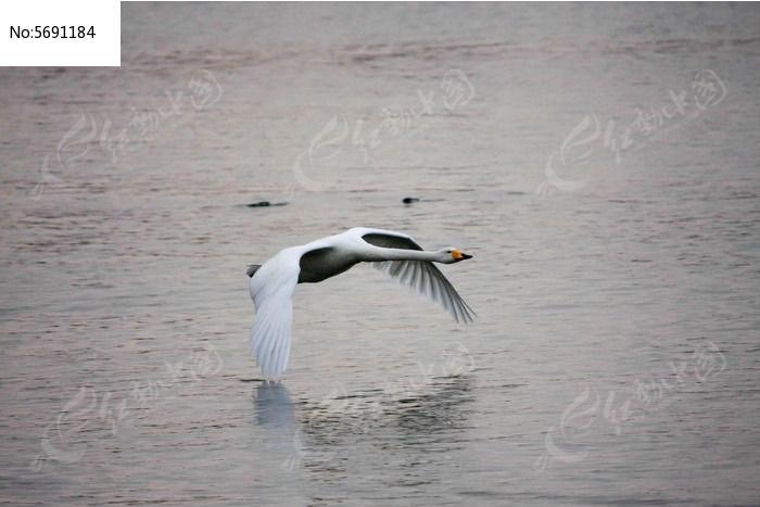 贴近水面飞行的天鹅图片,高清大图_空中动物素材