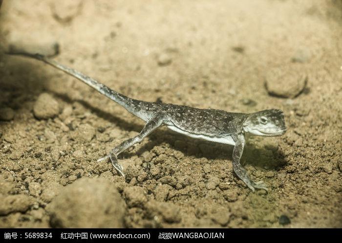 小蜥蜴图片,高清大图_陆地动物素材