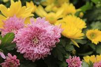 粉红和黄色的菊花