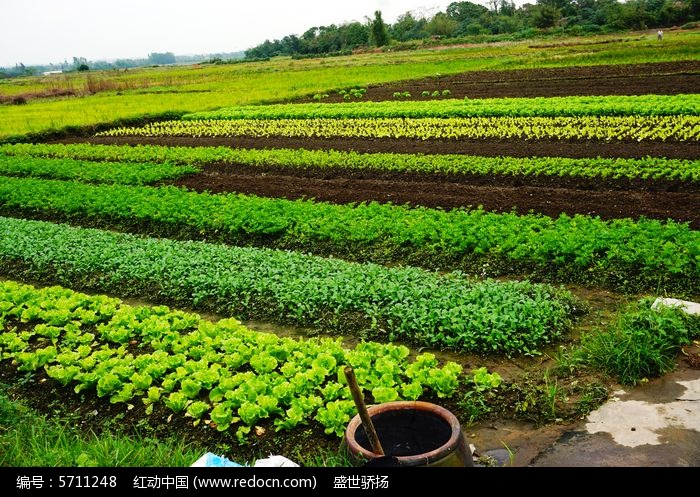 原创摄影图 动物植物 农作物 蔬菜农田