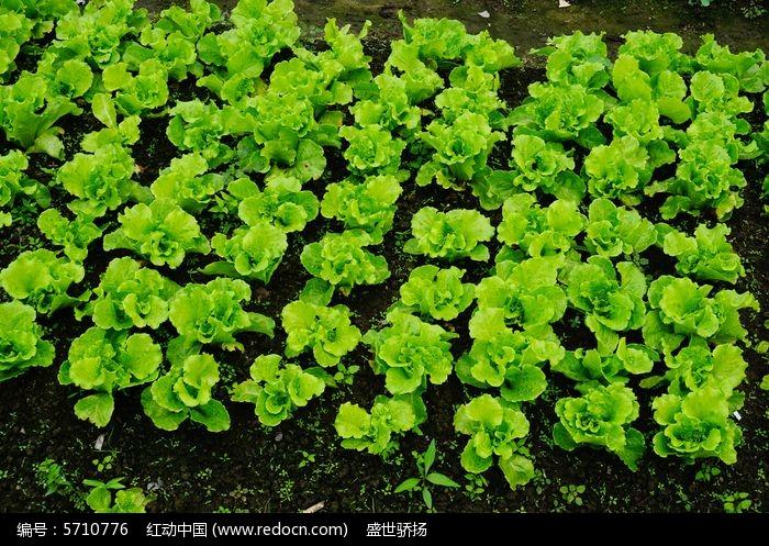 原创摄影图 动物植物 农作物 生菜蔬菜种植