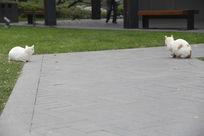 两个白色猫咪