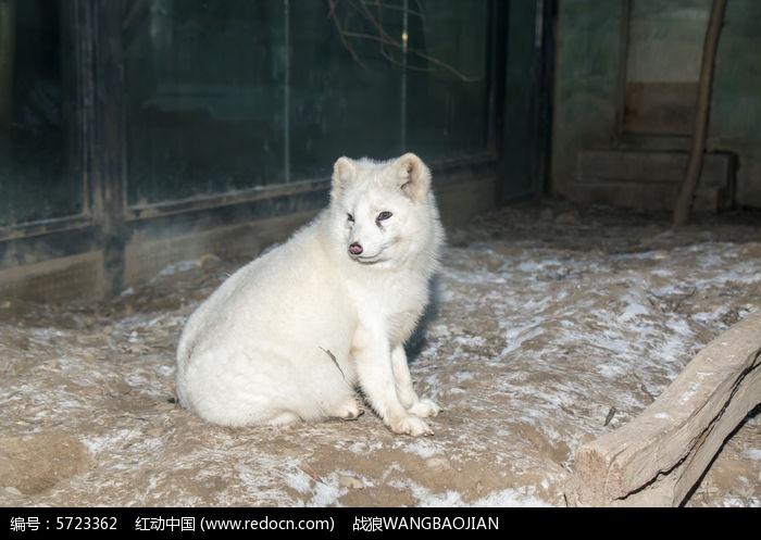 凝望的白狐图片,高清大图_陆地动物素材