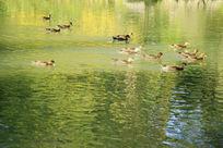 波光粼粼群鸭欢