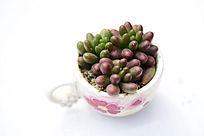红色圆豆多肉植物