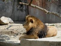 晒太阳的雄狮