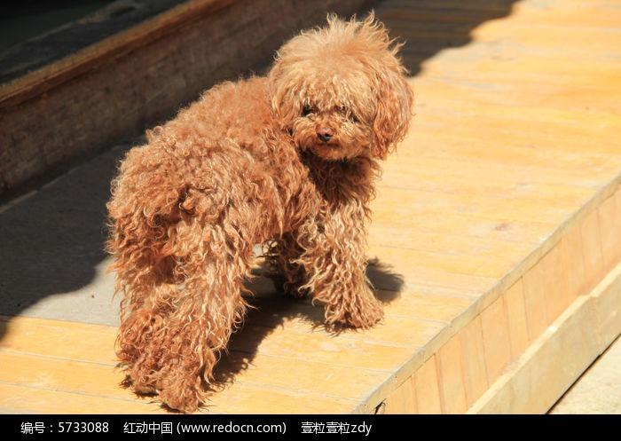 高清宠物泰迪狗图片,高清大图