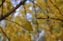 金黄银杏叶