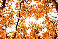 秋天的黄栌树