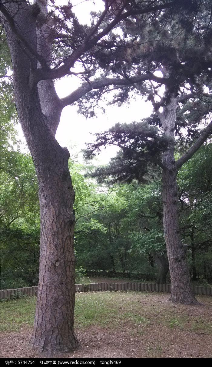 原创摄影图 动物植物 树木枝叶 夫妻树  请您分享: 红动网提供树木