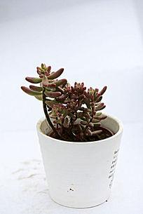 红色棍形多肉植物